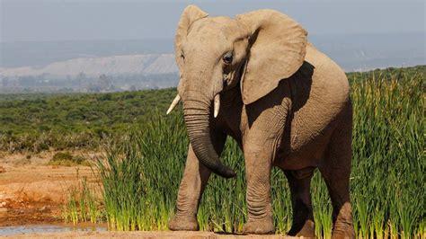 ¿Cómo se llama el sonido que emite el elefante ...