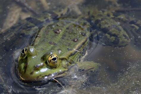 Cómo se reproducen los anfibios, características y cómo son.
