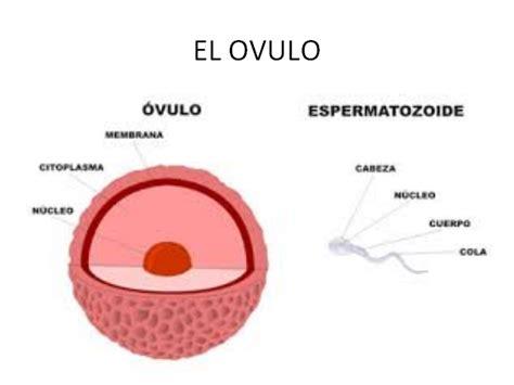 Como se reproducen los seres humanos - Monografias.com