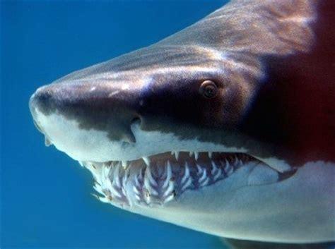 Cómo se Reproducen los Tiburones?   Comosereproducen.com