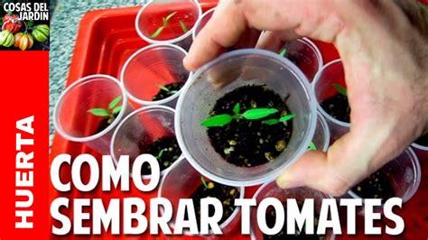 Como Sembrar Tomate desde Semilla - Germinación en 7 días ...