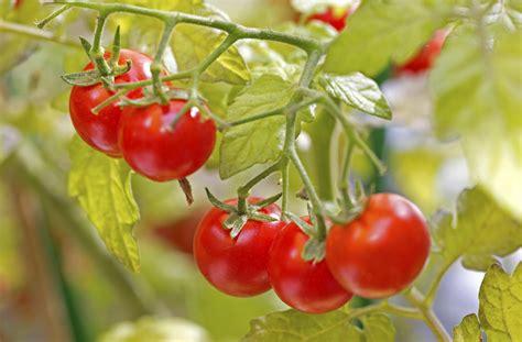 Cómo sembrar tomates en una maceta - 6 pasos - unComo
