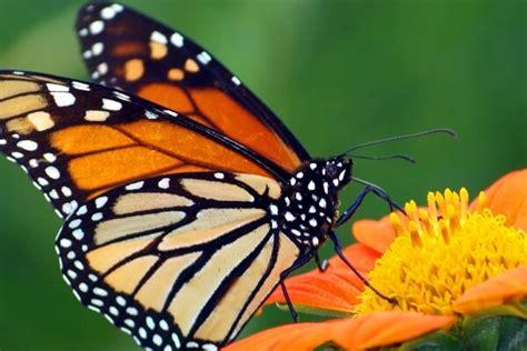Cómo son las mariposas explicado para los niños