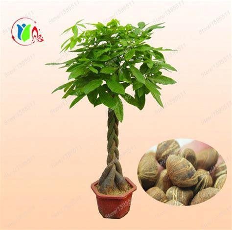 Compra planta de árbol del dinero online al por mayor de ...