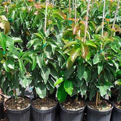 Comprar árboles frutales online  Campo de Benamayor