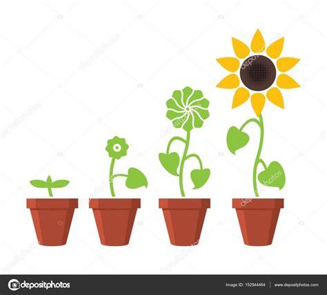 concepto de etapas de crecimiento de planta girasol Vector ...