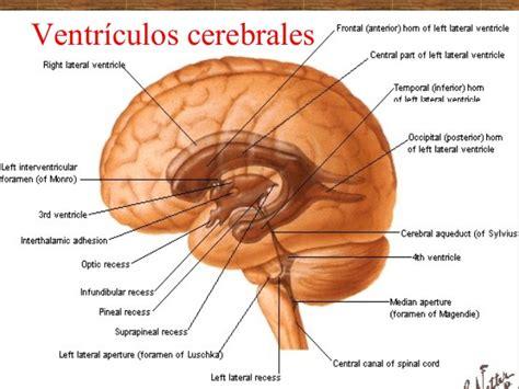 Configuración externa e interna del cerebro