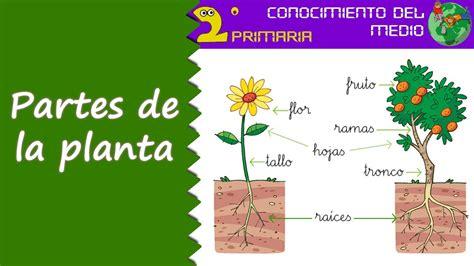 Cono, 2º Primaria. Tema 6. Las partes de la planta - YouTube