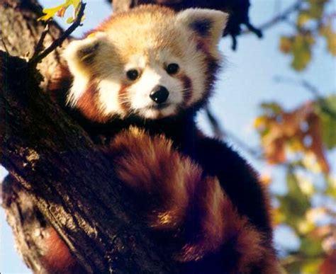 Conoce a... Los Pandas Rojos | Zoo Aquarium de Madrid