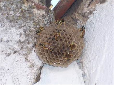 Control de avispas y abejas. Métodos de eliminación