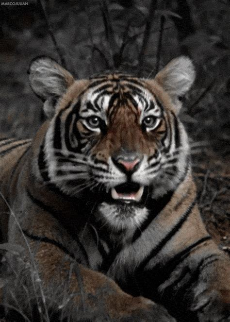 Cool Animated Tiger Gifs at Best Animations