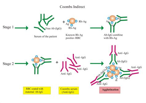 Coombs Test -Part 2- Indirect, Indirect anti-globulin test ...