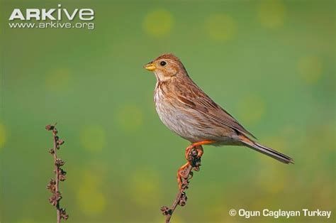 Corn bunting videos, photos and facts - Miliaria calandra ...
