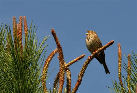 Corn Buntings | Pete's Favourite Things