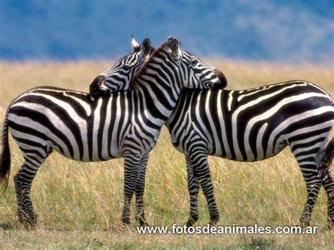 cortejo animal: cortejo mamiferos