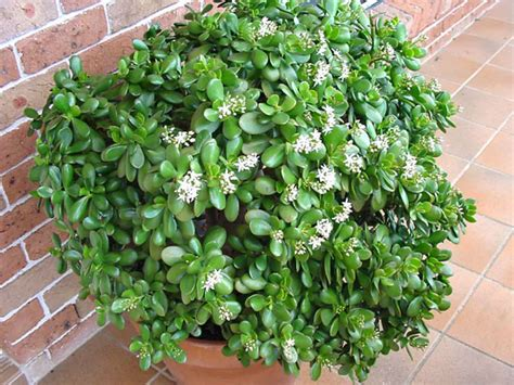 Crassula ovata (Jade Plant) | World of Succulents