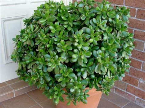 Crassula ovata (Money Tree, Jade Plant, Friendship Tree ...