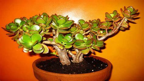 Crassula Ovata - Planta Jade , Muda - R$ 14,98 em Mercado ...
