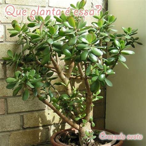 Crassula ovata – Planta Jade/Árvore da amizade | Que ...