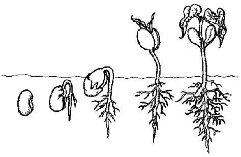 Crecimiento de las plantas para colorear   Imagui