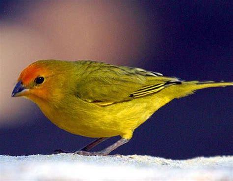Cría de canarios en casa : TiendAnimal