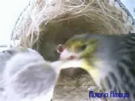cria de canarios   YouTube
