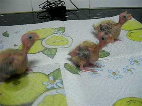 Crías de ninfa con 15 y 14 días - YouTube