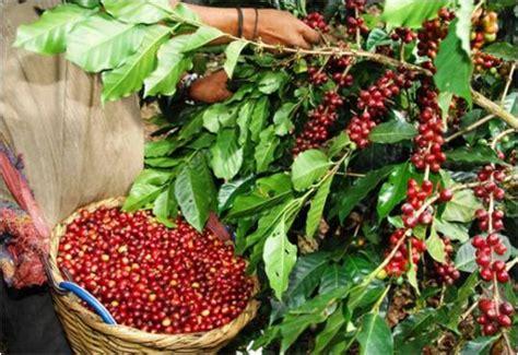 CRONICAS DE CUCUTA: 877.- EL CAFE EN COLOMBIA INICIO EN ...