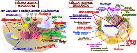 Cuadros comparativos entre célula animal y vegetal para ...