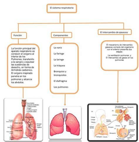 Cuadros sinópticos sobre el aparato respiratorio humano ...