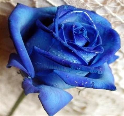Cuál es el significado de las rosas azules - 4 pasos