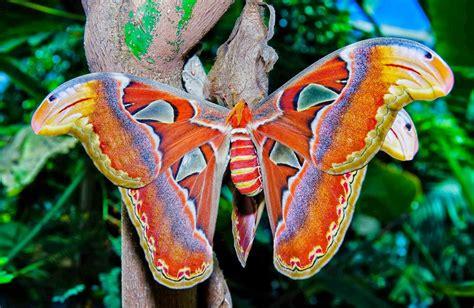 Cuales son las mariposas más grandes del mundo