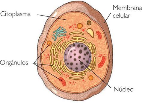¿Cuáles son las partes de una célula?
