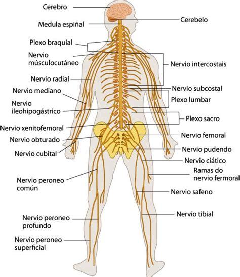 ¿Cuáles son los órganos del sistema nervioso? - Sistema ...