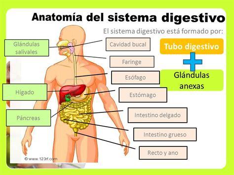 cuanto cuanto mide el estomago 71 sistema digestivo cuanto ...