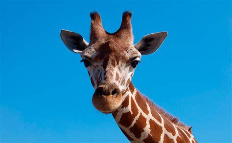 ¿Cuánto mide el cuello de una jirafa? | Altura del cuello ...