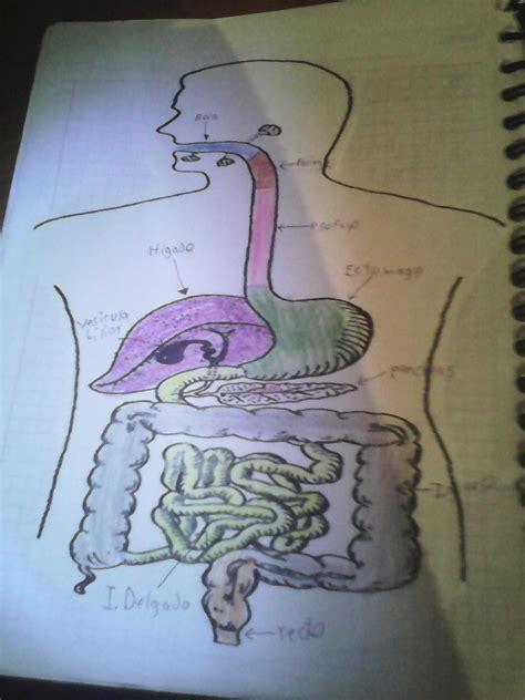 Cuánto mide el esófago el estómago el intestino delgado el ...