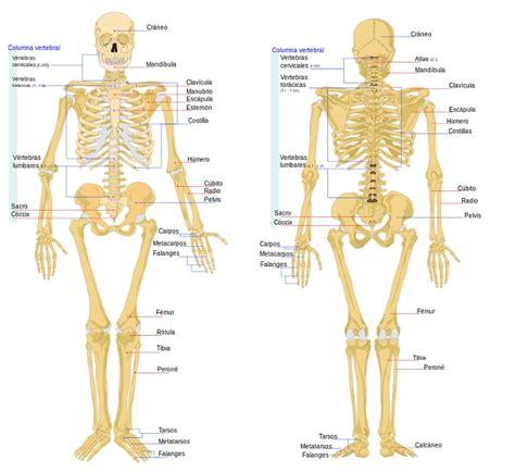 ¿Cuántos huesos tiene el cuerpo humano? Te lo contamos