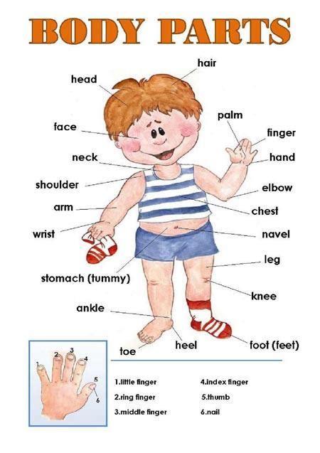 Cuerpo humano con sus partes en ingles - Imagui