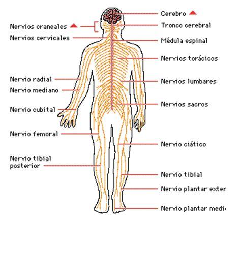 Cuerpo Humano: DIBUJOS DE NERVIOS DEL CUERPO HUMANO