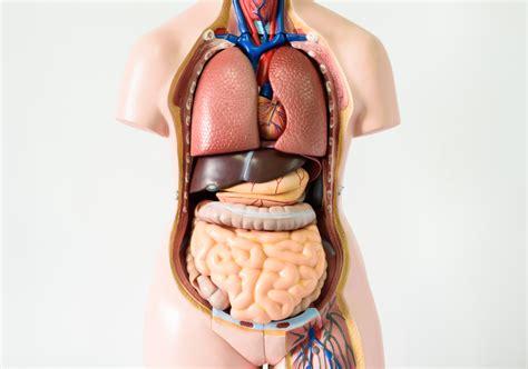 Cuerpo humano: partes del cuerpo humano que no son ...