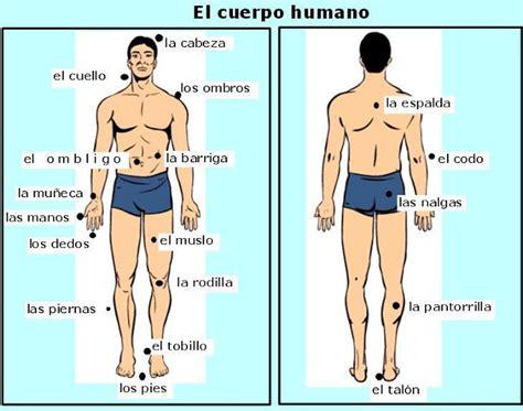 Cuerpo humano y sus partes en ingles   Imagui