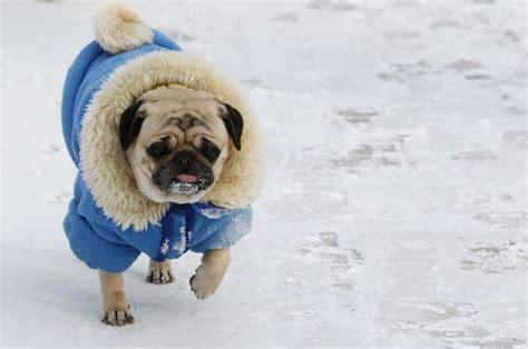 cuidar de tu mascota en invierno, abrigar a tu perro en ...