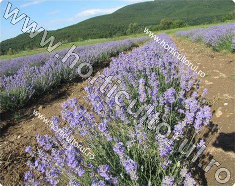 Cultivarea Lavandei - tehnologia de cultura | Horticultorul.ro