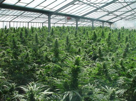 Cultivo de marihuana exterior - Guía de cultivo de marihuana