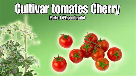 Cultivo del tomate Cherry | Sembrar tomates Cherry | Parte ...