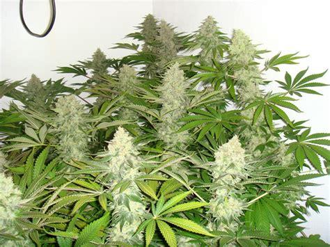 Cultivo interior de marihuana - Blog del Grow Shop Alchimia