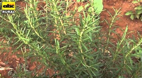 Cultivo y combinación de plantas medicinales - YouTube