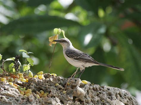 CURACAO DUTCH ANTILLES : Tropical Mockingbird Profile