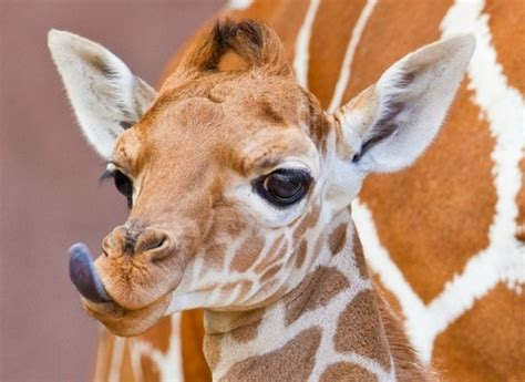 Cute Baby Animals of Africa - Slapped Ham